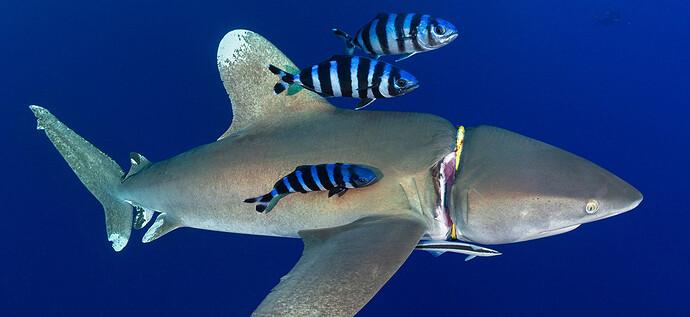 red_sea_white_tip_shark_entangled